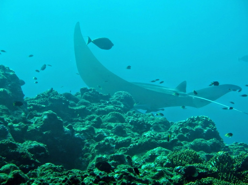 藏在珊瑚中的manta