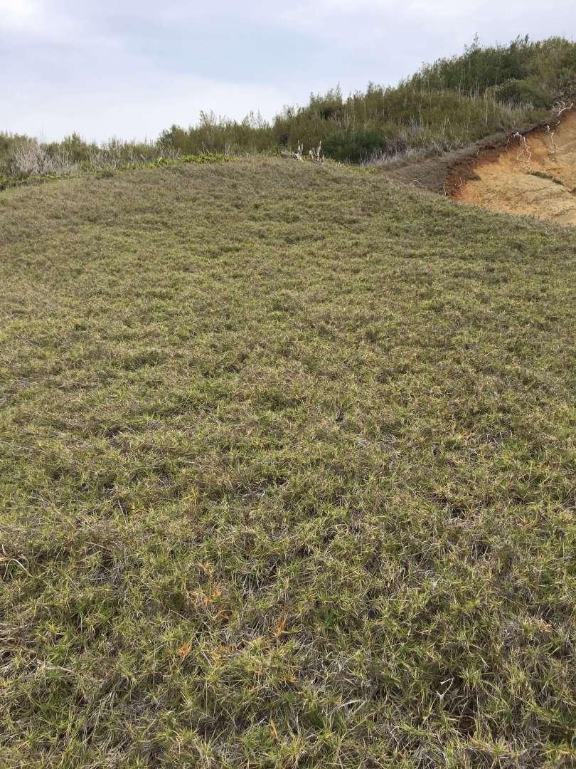 grass in hahajima