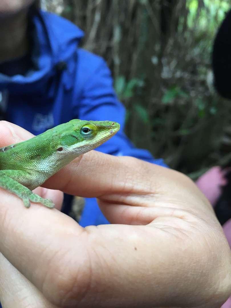 chameleon in hahajima