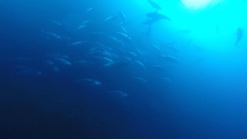 tuna in hahajima