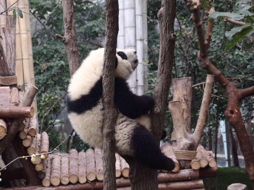 panda is thinking