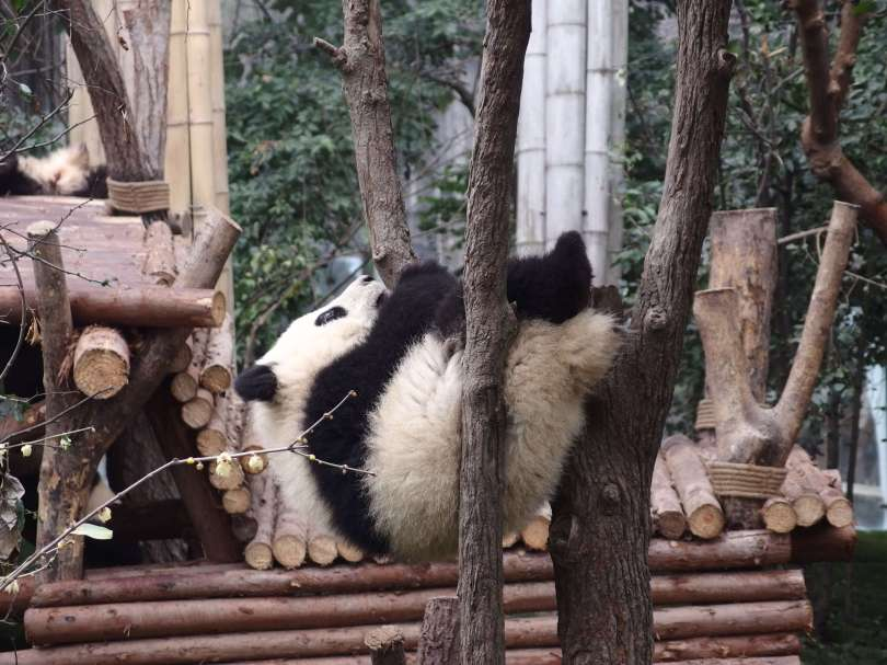 panda is sleeping on the tree
