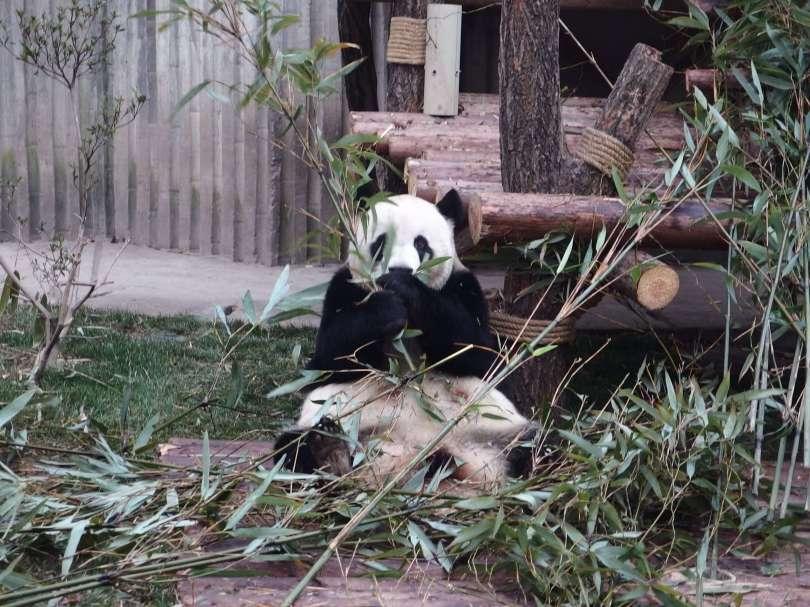 panda eats bamboo
