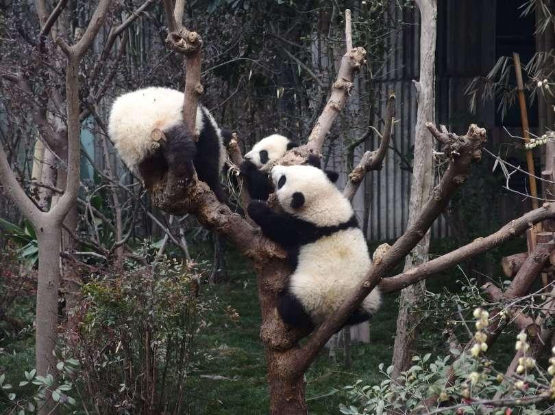 baby pandas love climbing trees