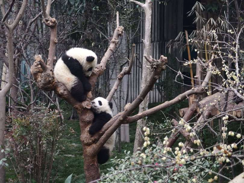 pandas fight for good position on the tree